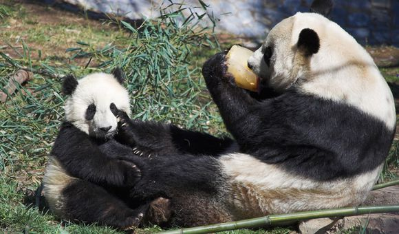 Preview thumbnail for video'The National Zoo's Most Adorable Baby Animals