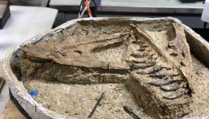 Rare Tiny T. Rex Unearthed in Montana