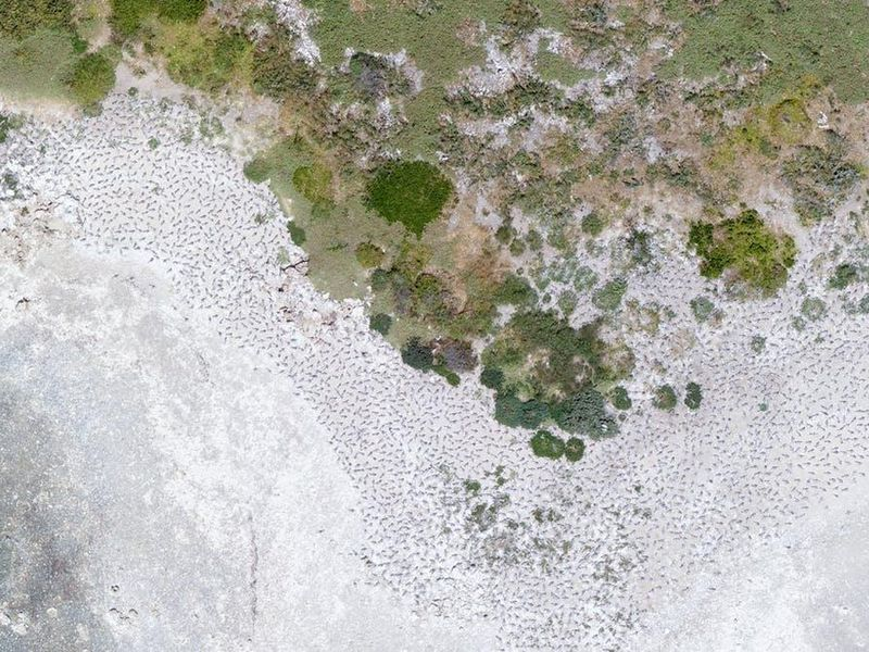 A drone image of a breeding colony of Greater Crested Terns