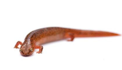 A Ban on Salamanders Is Just Part of the Fight Against This Deadly Fungus