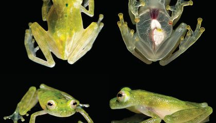 This Glass Frog's Heart Is Visible Through Its Skin