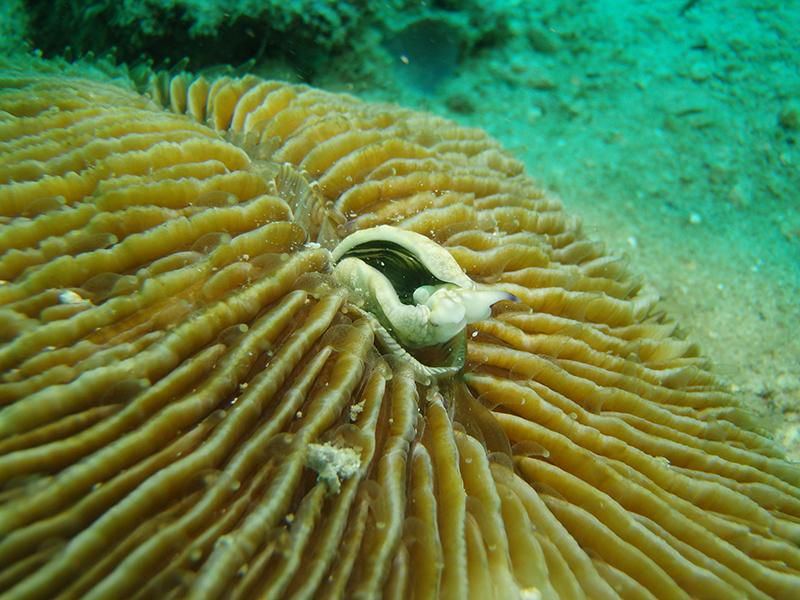 Mushroom Coral Eating Sea Slug 1
