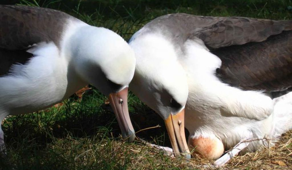 Two albatrosses raise an egg.