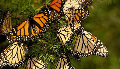 How to Save the Monarchs? Pay Farmers to Grow Butterfly Habitats