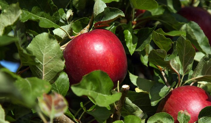 Meet 'Cosmic Crisp, a New Hybrid Apple