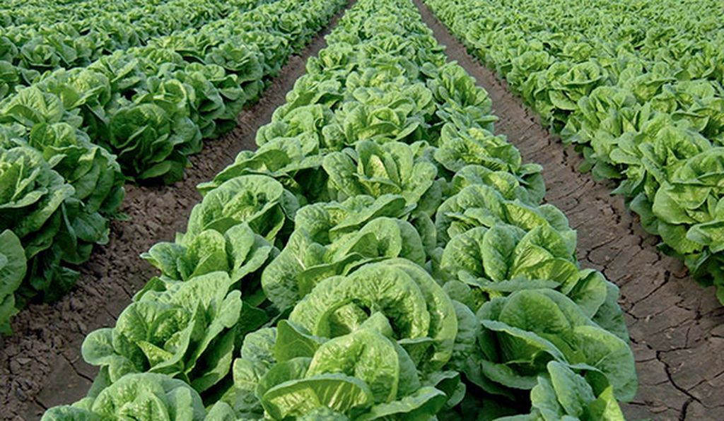 Celebrate the county's star crop at the annual Yuma Lettuce Days festival.