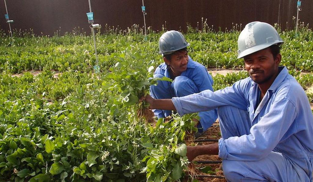 Workers at the Sahara Forest Project's pilot facility in Qatar.