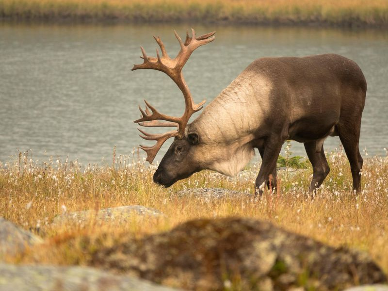 The Last Wild Caribou Of The Lower 48 Has Been Placed In Captivity Smart News Smithsonian Magazine