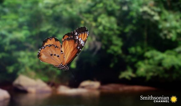 Preview thumbnail for video'Butterflies Zigzag Wildly for a Reason