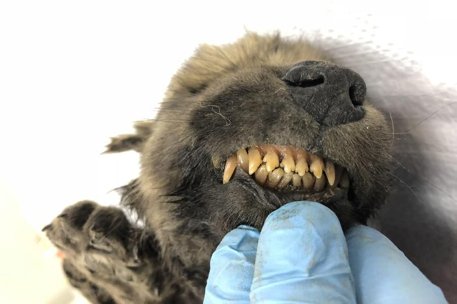 Was This 18,000-Year-Old Puppy Frozen in Siberian Permafrost the ...