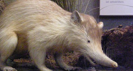 A stuffed solenodon in a museum