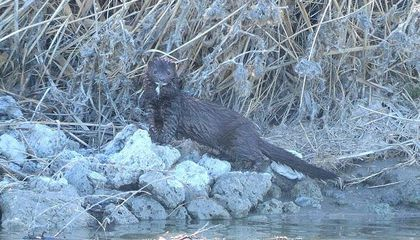 First Case of Covid-19 in a Wild Animal Found in a Utah Mink