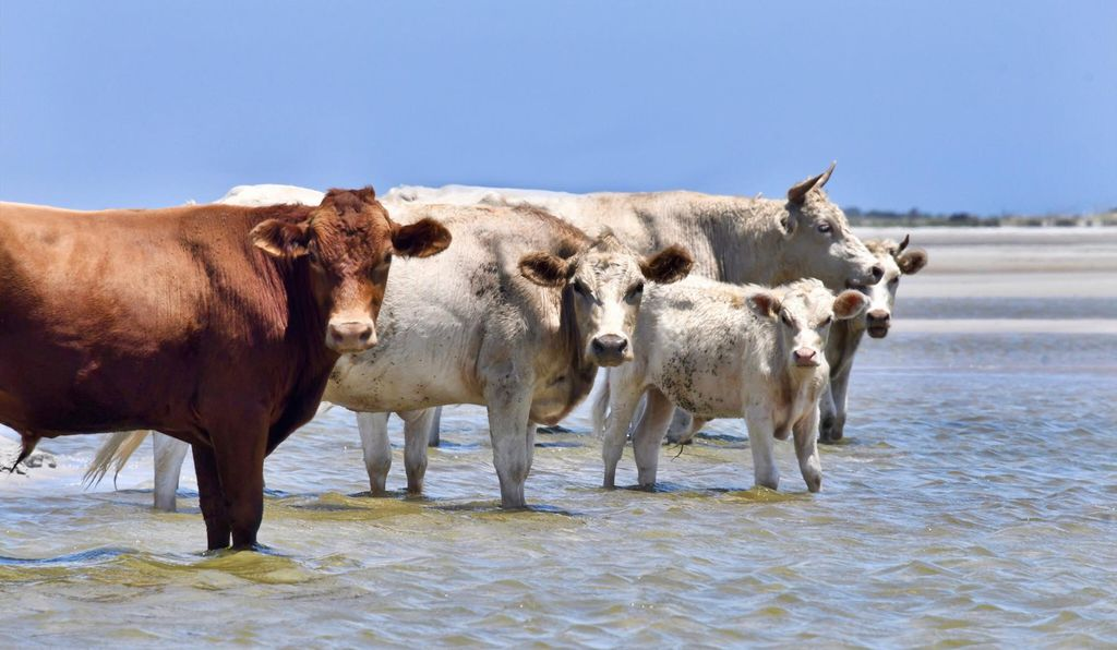 Here are the happy cows photographed in 2017 on the beach at their home on Cedar Island.