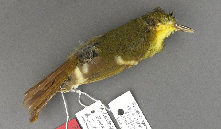 Elusive Songbird Species Likely Never Existed