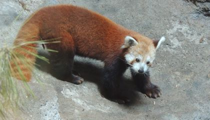 A red panda at Smithsonian's National Zoo.
