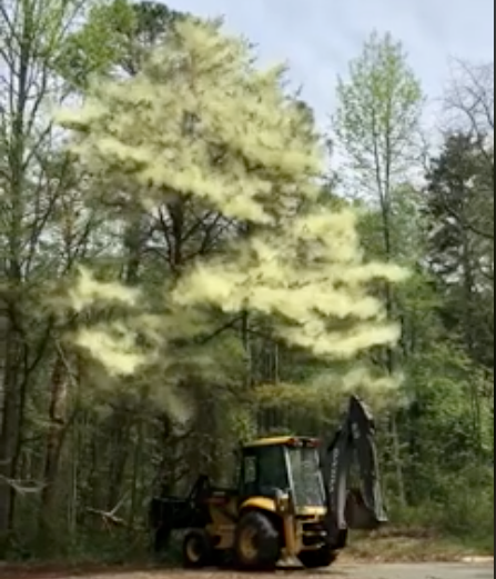 Tree Pollen Mount Nebo Arkansas Christmas 2020 Watch This Pine Tree Unleash a Huge, Fluffy Pollen Cloud | Smart