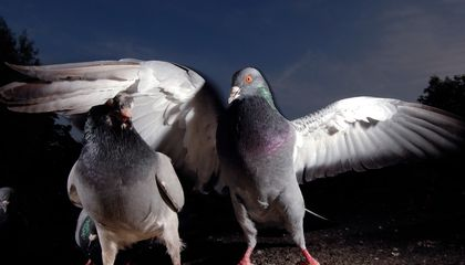 Pigeons Can Spot Breast Cancer in Medical Images