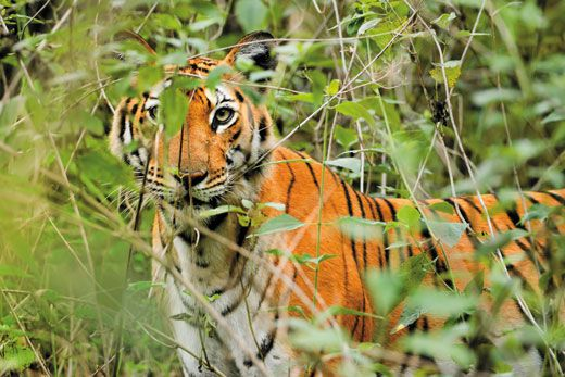 The Fight To Save Tiger