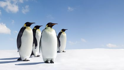 The Complicated Calculus of Counting Emperor Penguins