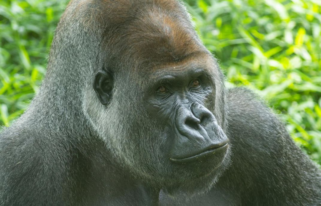 A close-up of the face of a large male silverback western lowland gorilla