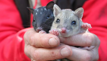 The Super-cute Eastern Quoll Returns to Mainland Australia