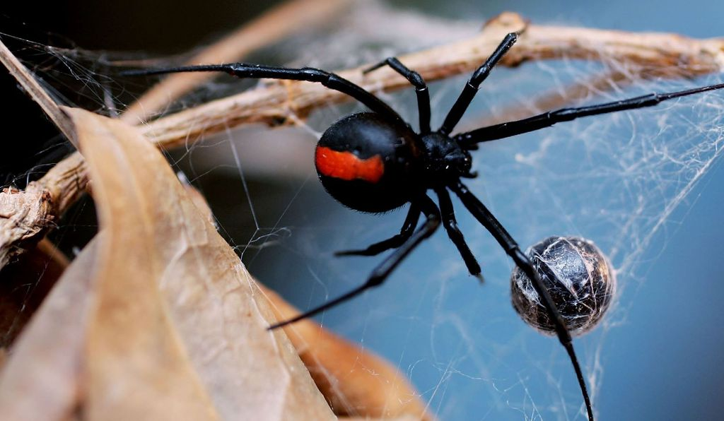 The Australian redback spider, a relative of the black widow, is probably the best-known deadly spider Down Under.