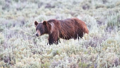 Yellowstone Bears Actually Eat Moths for Food