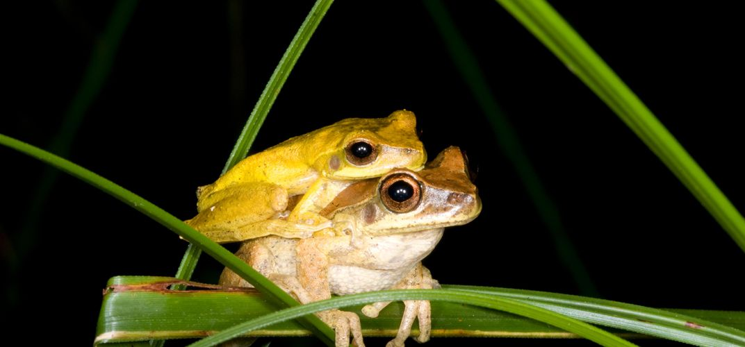 Caption: The Color-Changing Marvel of Frogs Seeking Love