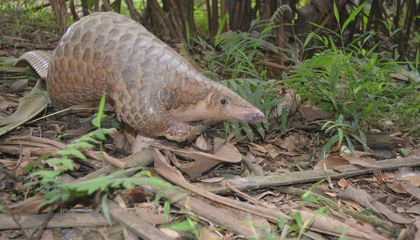 Mark World Pangolin Day With a New Video About the Quirky Creatures