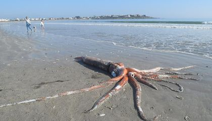 Rare Giant Squid Washes Onto Shores of South African Beach