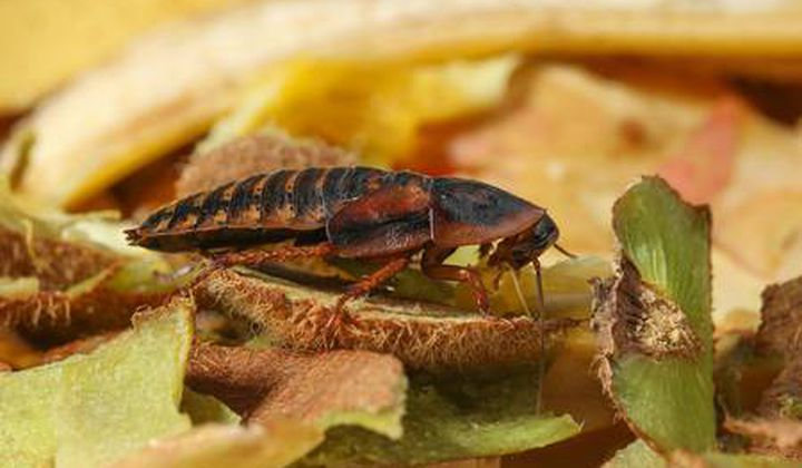 """ In China, entrepreneurs have found a new, productive way to dispose of food scraps: feeding it to cockroaches… more"""