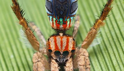 See Seven New Dazzling, Dancing Peacock Spiders