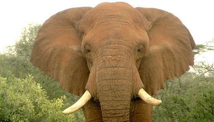 Surprise! Science Shows That Elephant Poaching Is Unsustainable