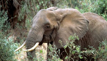 African Elephants Sleep Just Two Hours Per Day, and Nobody Knows Why