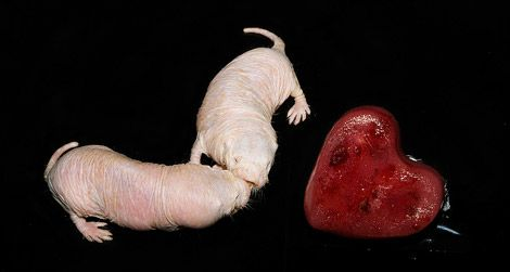 Naked mole rats from the Smithsonian Institution's National Zoo