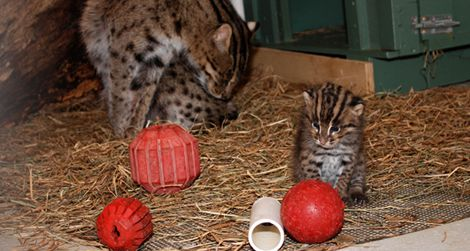 Two new additions at the Zoo may help researchers break the Fishing Cat breeding code.