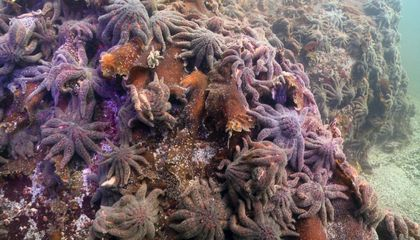 Why Almost All of the West Coast's Sunflower Sea Stars Have Wilted Away