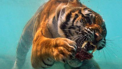 Picture of the Week—Underwater Tiger