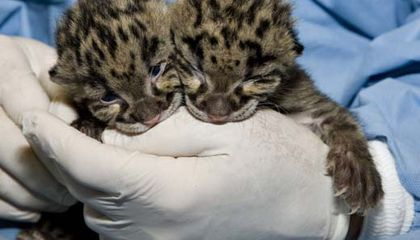 Vote for the Clouded Leopards in the Cutest Zoo Baby Contest