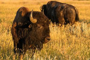 Tracking Bison Across the Grasslands of Montana
