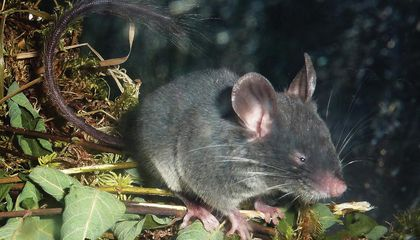 This Echolocating Dormouse Could Reveal the Origins of One of Nature's Coolest Superpowers