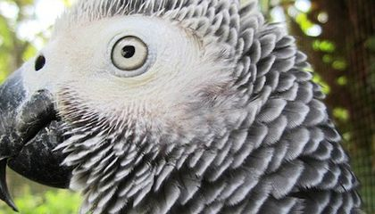African Grey Parrots Have the Reasoning Skills of 3-year-olds