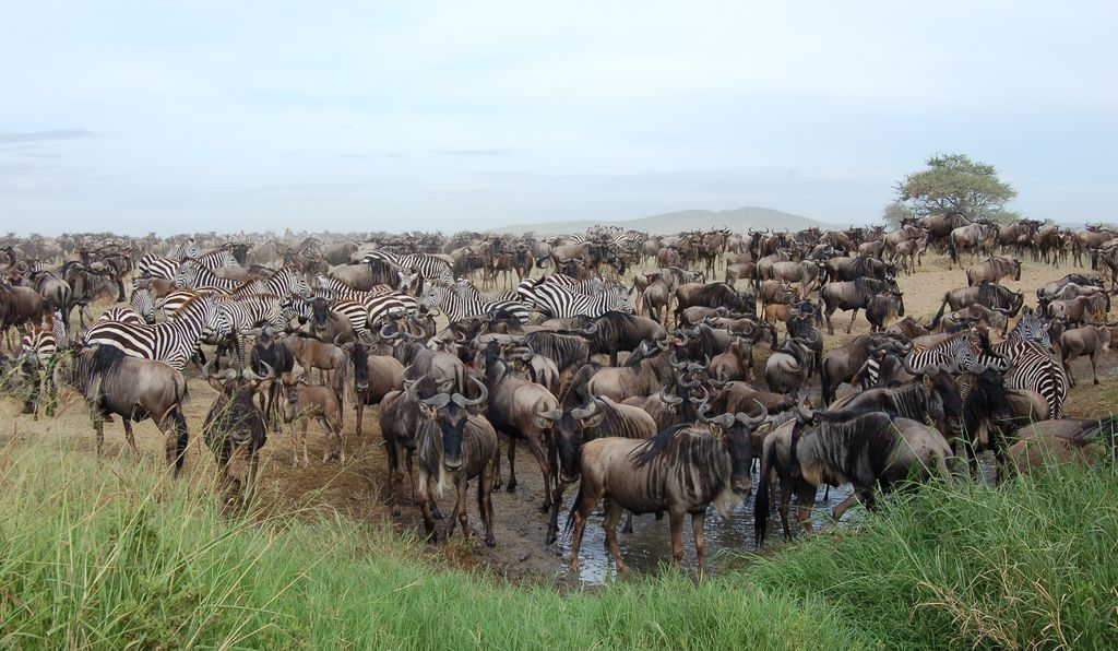 Zebras and wildebeests mingle on the Serengeti. Future research could help to make the case for gnu conservation efforts in Tanzania.