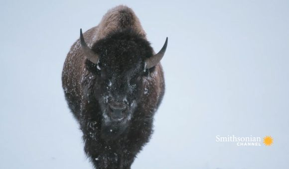 Preview thumbnail for video'Yellowstone Bison Are Built for Winter Survival