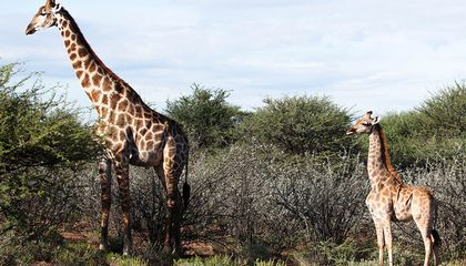 Scientists Report First Instances of Dwarf Giraffes
