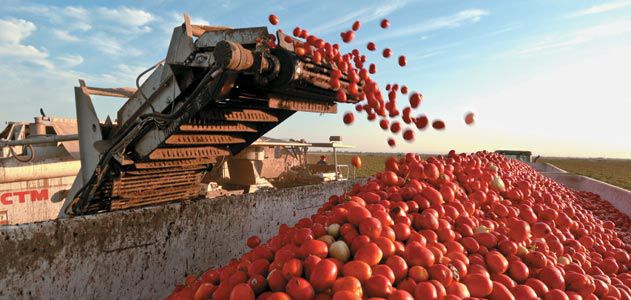 A harvester in California Sacramento Valley gathers tons of Roma tomatoes