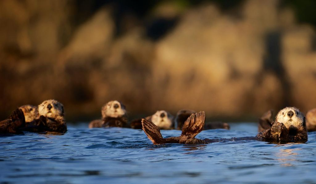 A group or raft of sea otters off the west coast of Vancouver Island, BC, Canada.