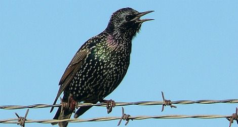 There are 200 million European starlings in North America