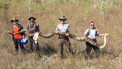 Record-Breaking 17-Foot-Long Burmese Python Found in Florida