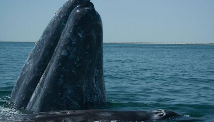 Gray Whales Battle Overfishing, Climate Change